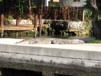 Croc on dock