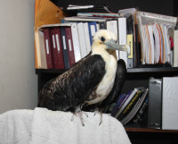 Magnificent Frigatebird at the Florida Keys Wild Bird Center hospital - a permanent resident (injured wing).