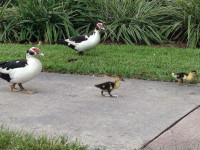 Mother's Day, 2014 - ducklings move out under watchful eye of Mom (and Dad) outside conference venue
