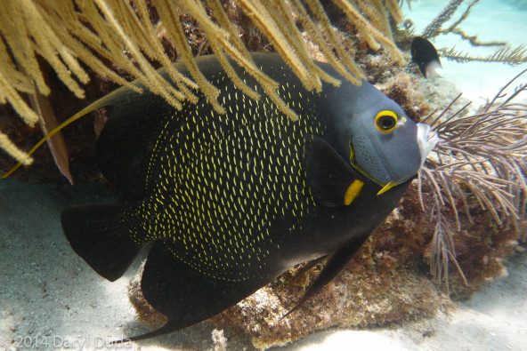 French Angelfish